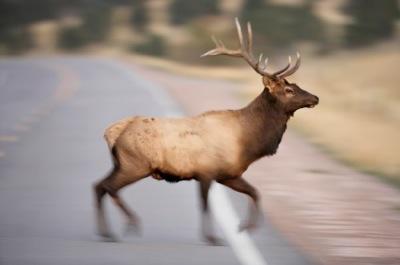 Elkcrossing